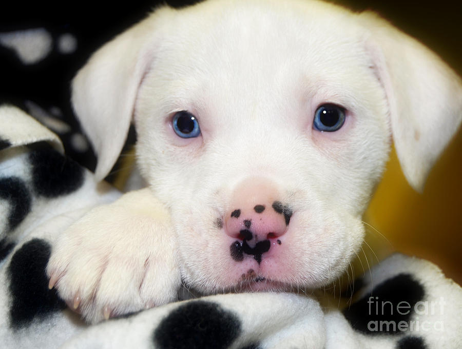Puppy Pose With 4 Spots On Nose Photograph