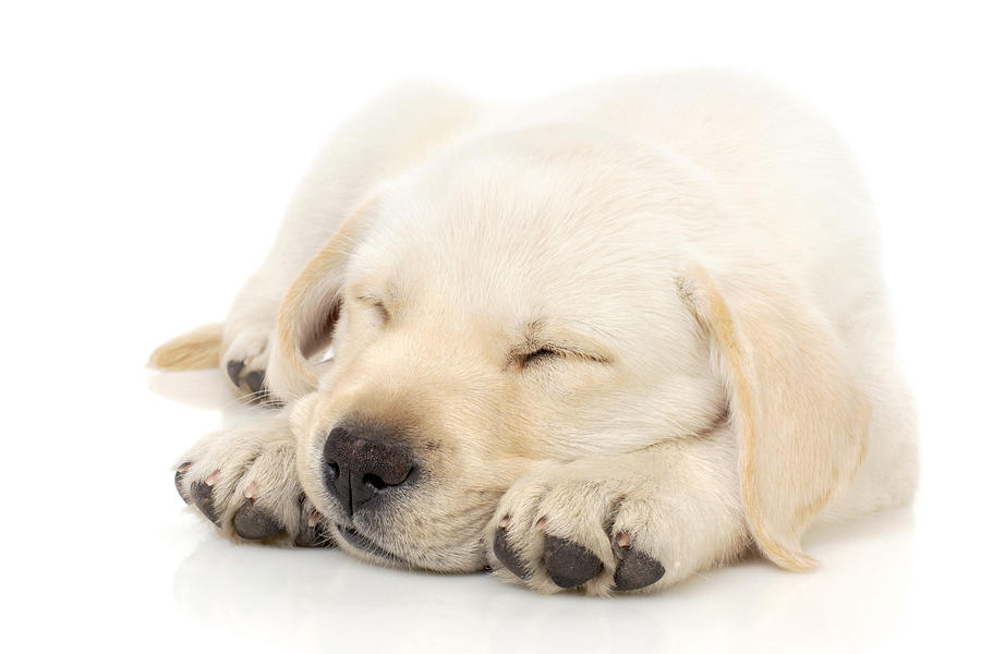 Puppy Sleeping On Paws Photograph