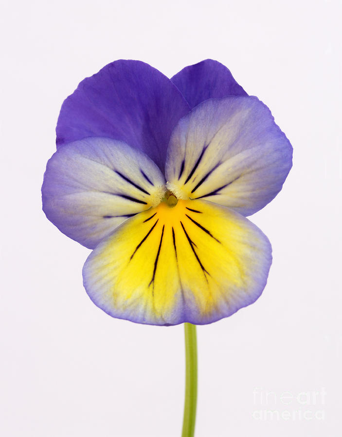 Purple and yellow pansy photograph by rosemary calvert for Purple and yellow painting