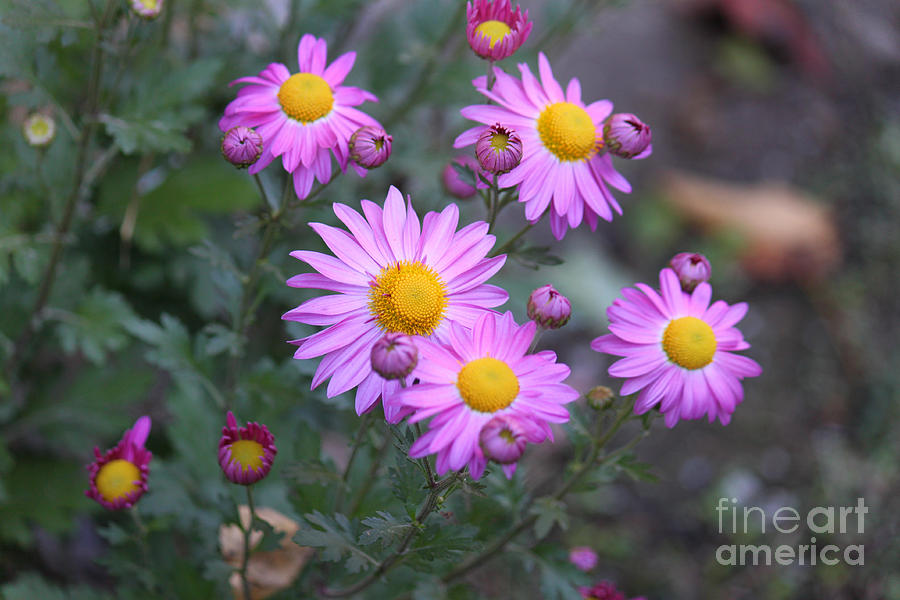 Purple Asters Photograph  - Purple Asters Fine Art Print