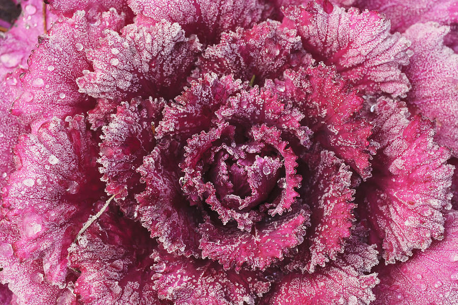 Purple Cabbage On A Frosty Morning Mill Photograph