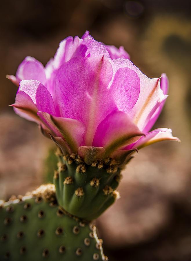 Cactus Flower Photograph - Purple Cactus Flower by  Onyonet  Photo Studios