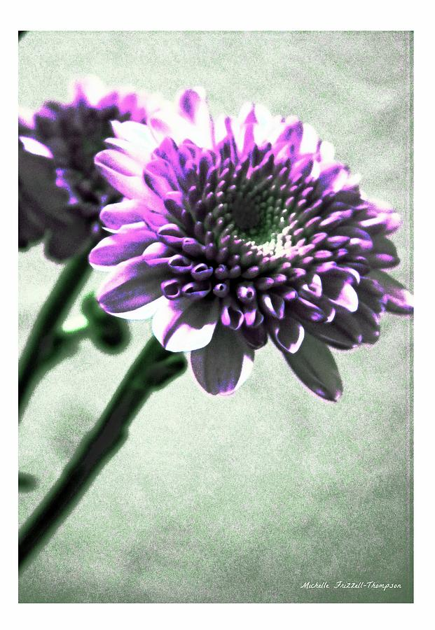 Chrysanthemum Photograph - Purple Chrysanthemum by Michelle Frizzell-Thompson