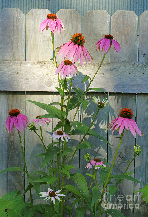 Purple Coneflower Photograph  - Purple Coneflower Fine Art Print