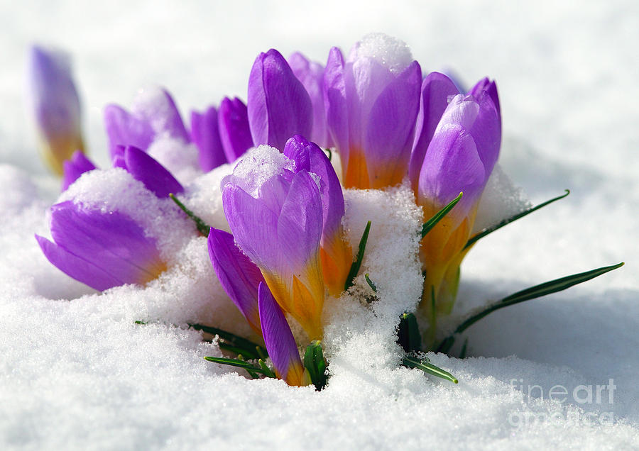 Purple Crocuses In The Snow Photograph  - Purple Crocuses In The Snow Fine Art Print