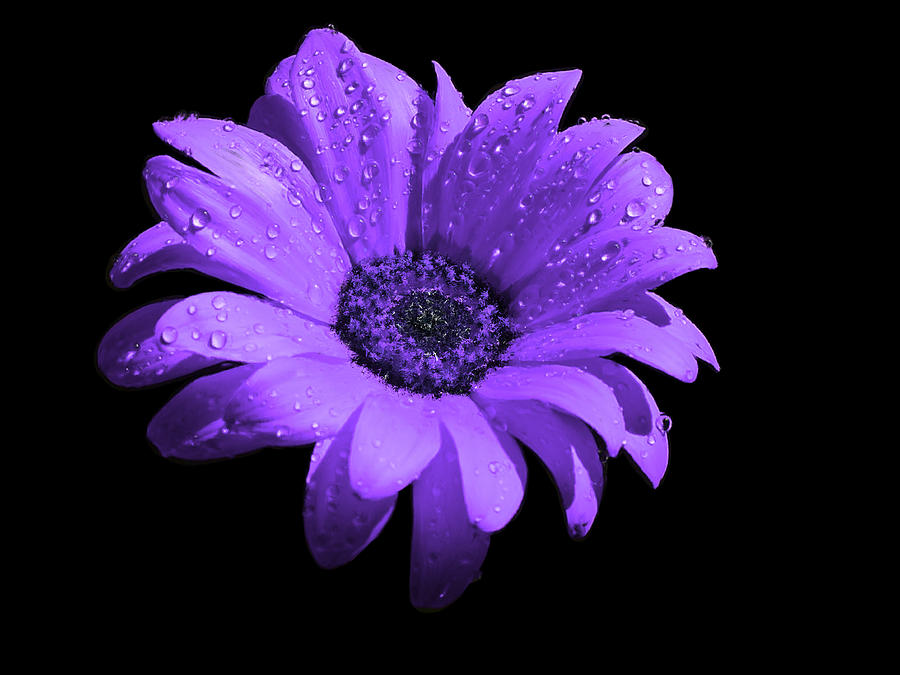 Purple Flower With Rain Painting  - Purple Flower With Rain Fine Art Print