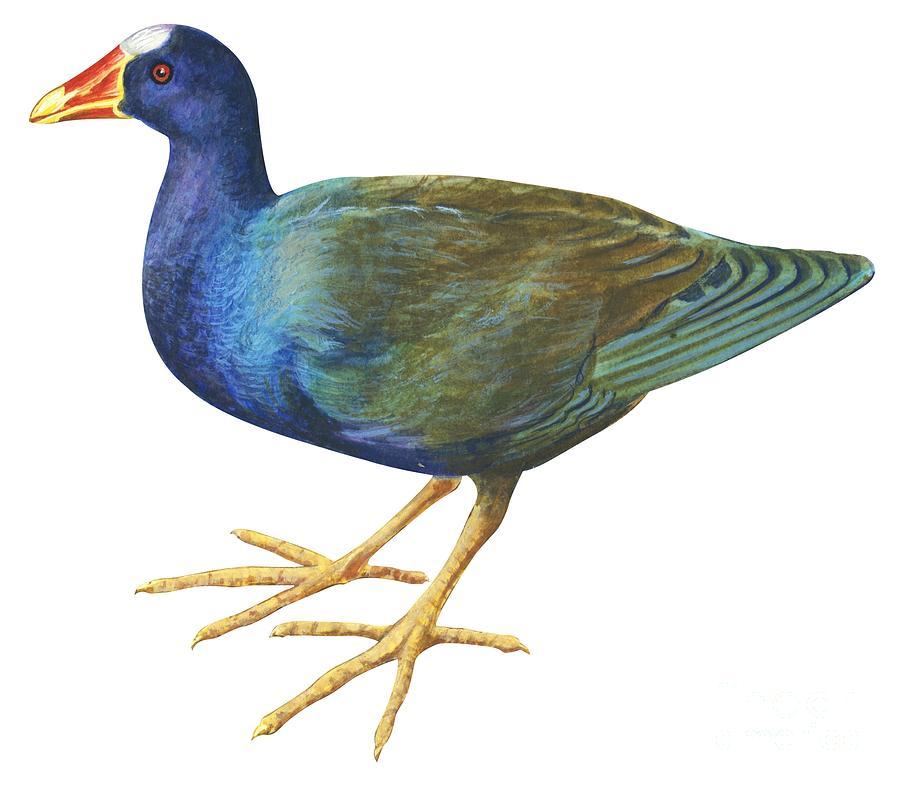 Purple Gallinule Drawing