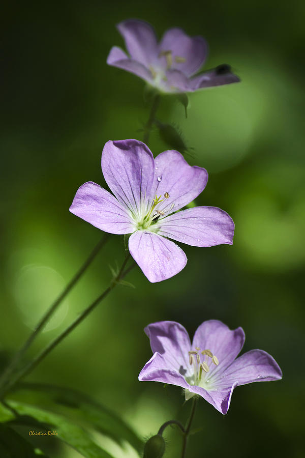 Purple Geranium Flowers Photograph