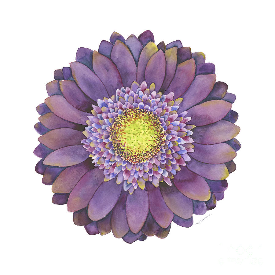 Purple Gerbera Daisy Painting By Amy Kirkpatrick