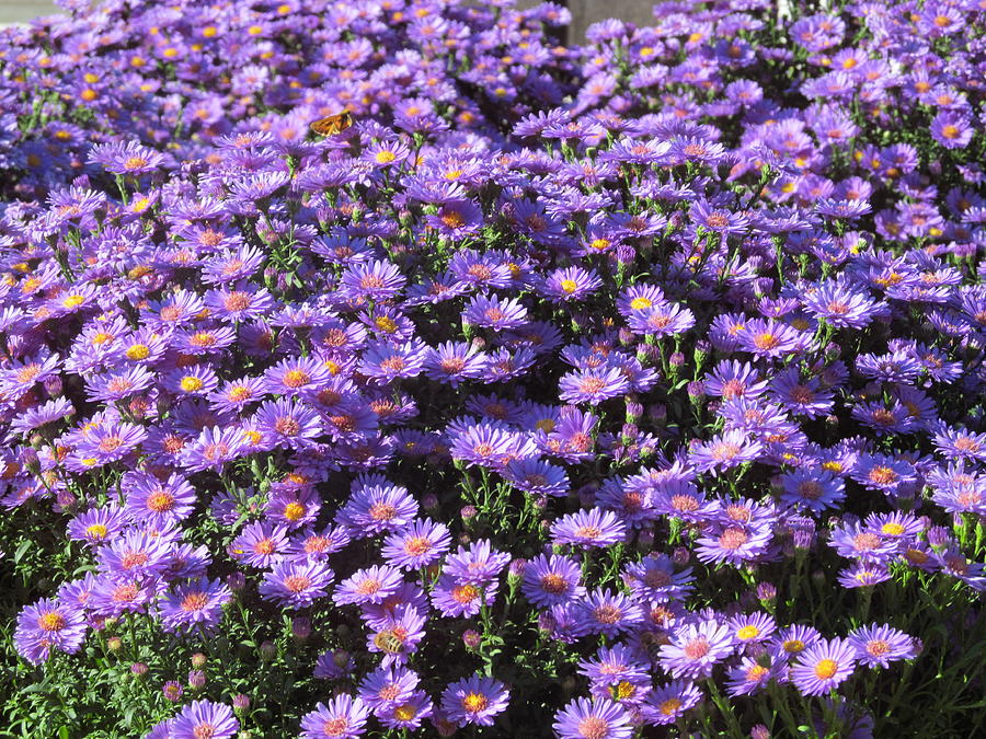 Purple Ground Cover Photograph