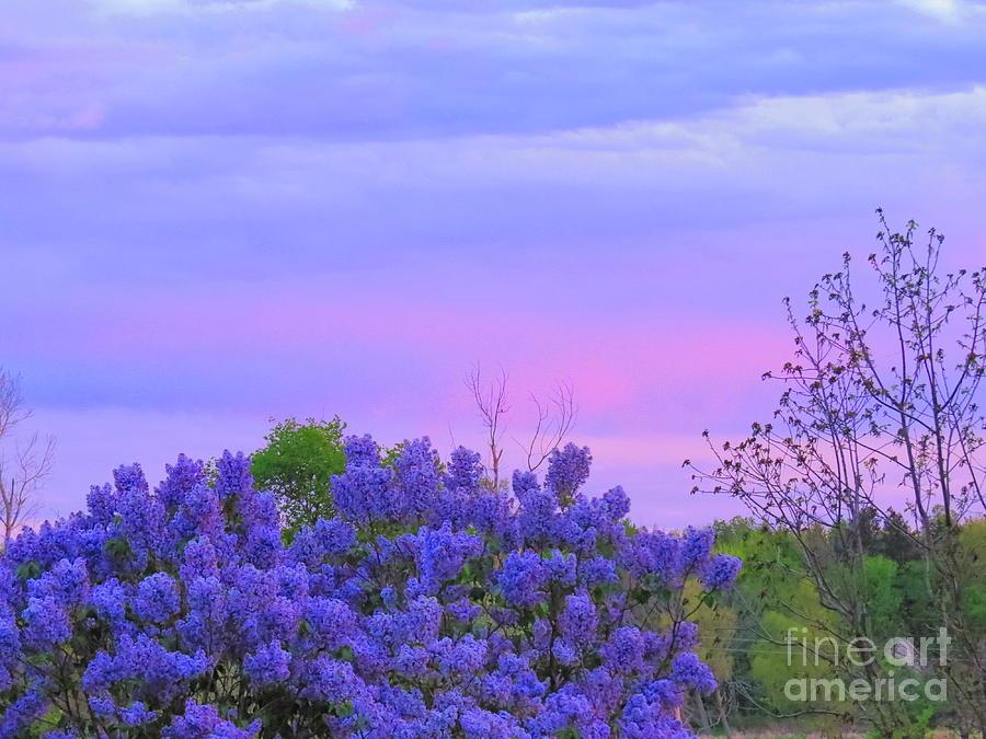 Lilacs  Photograph - Purple Haze by David Lankton