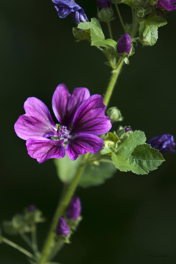 Purple Hollyhock Flowers Photograph