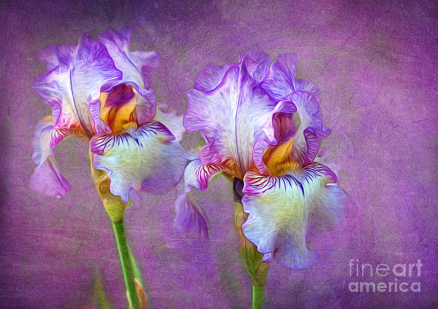 Purple Iris Photograph