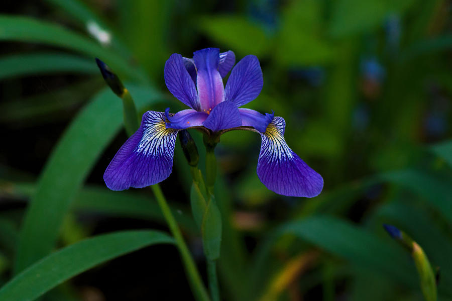 Purple Iris Photograph  - Purple Iris Fine Art Print