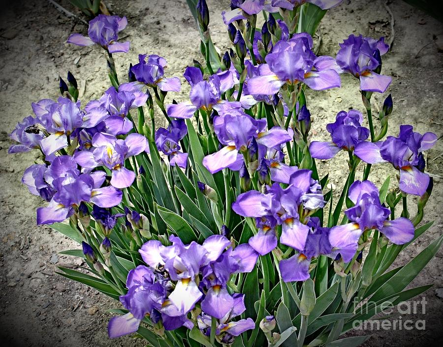 Purple Irises Photograph  - Purple Irises Fine Art Print