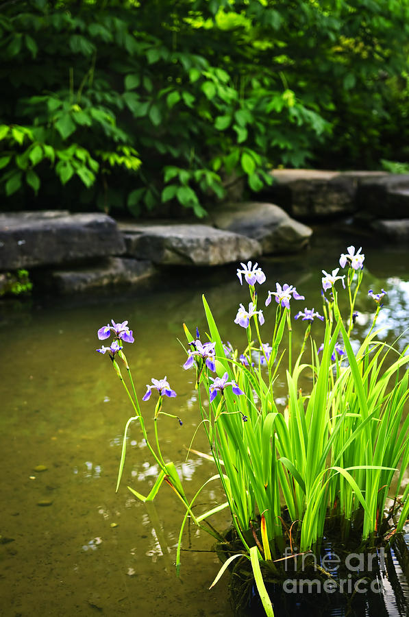 Garden Photograph - Purple Irises In Pond by Elena Elisseeva