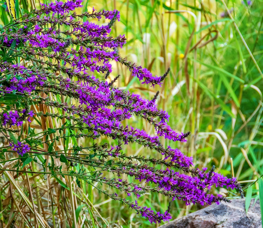 a scene analysis of purple loosestrife Surf awards 2014 2014 and to improve the current queer women's writing scene combat the spread of purple loosestrife.