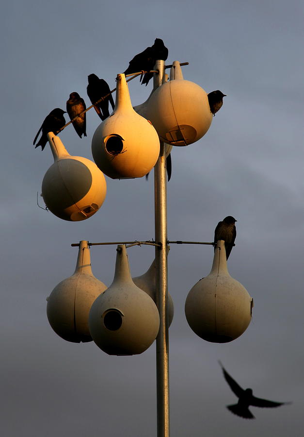 Purple Martin Twilight Photograph  - Purple Martin Twilight Fine Art Print