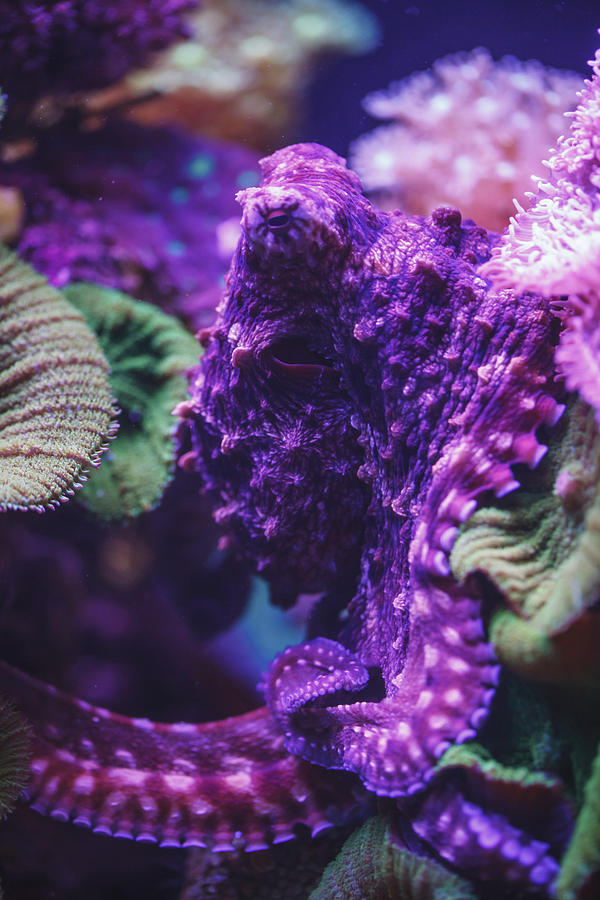 Purple Octopus Israel is a photograph by Reynold Mainse which was ...