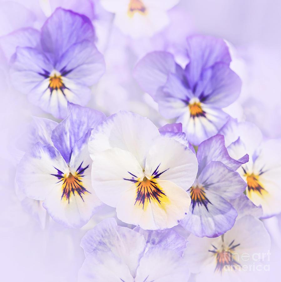 Purple Pansies Photograph