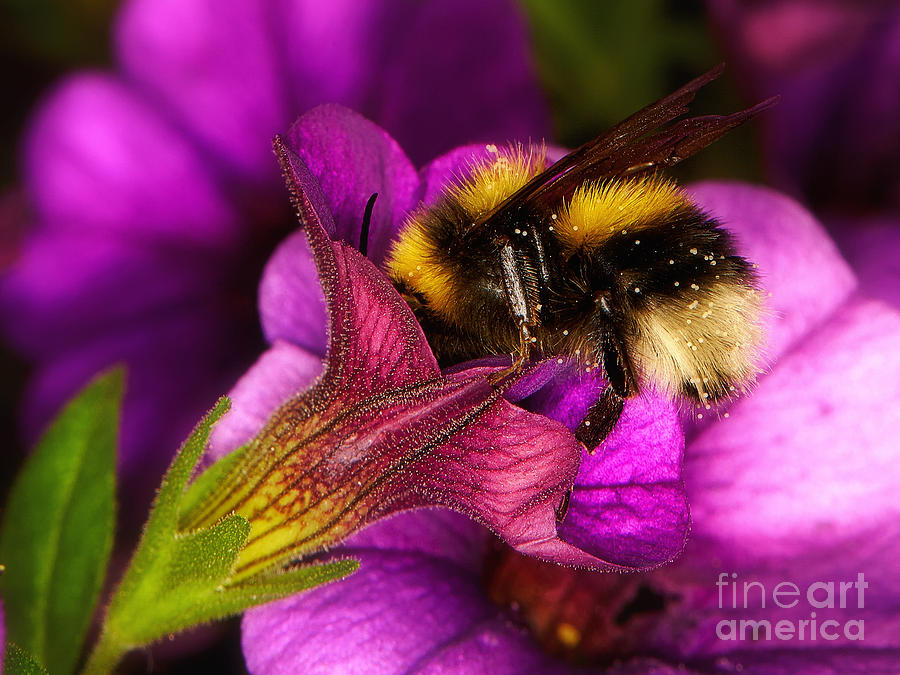 Purple Petunias With A Bumblebee Photograph