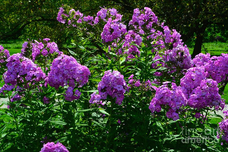 Purple Phlox Bush Photograph