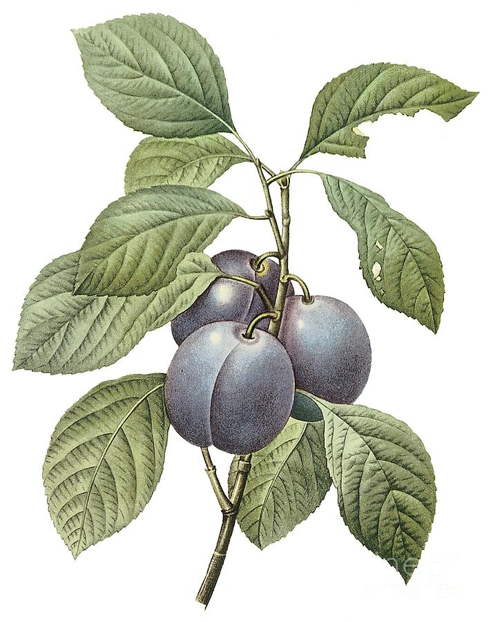Fruit Drawing - Purple Plum by Spencer McKain