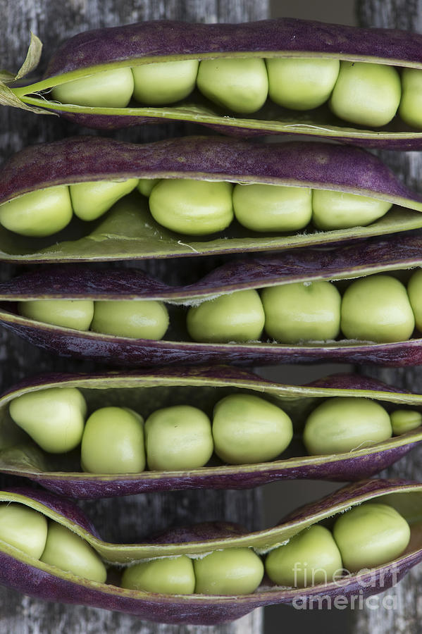 Purple Podded Pea Pattern Photograph