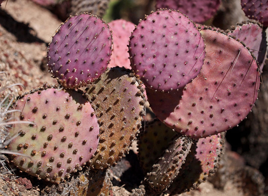 Purple Prickly Pear Cactus Photograph