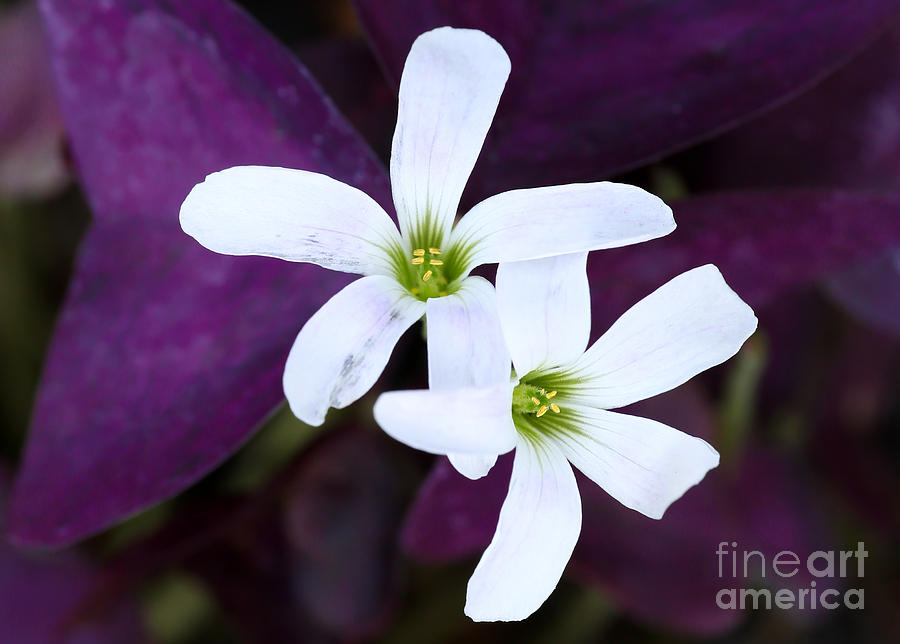 Purple Queen Flowers Photograph