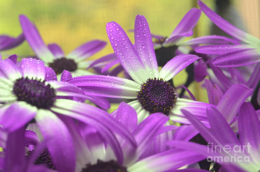 Purple Senetti IIi Photograph  - Purple Senetti IIi Fine Art Print