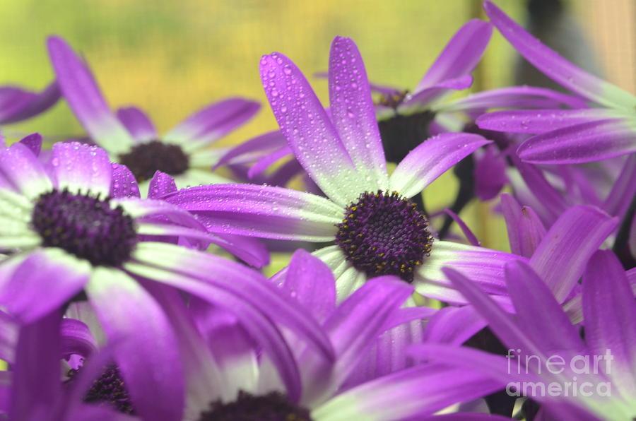 Purple Senetti IIi Photograph