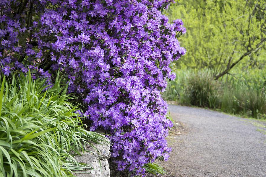 Purple Photograph - Purple Spring by Priya Ghose