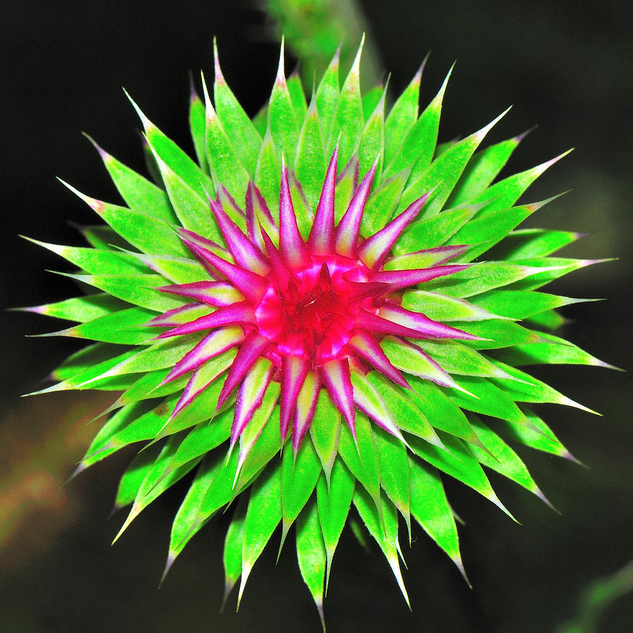 Purple Thistle Flower Photograph by Charles Feagans
