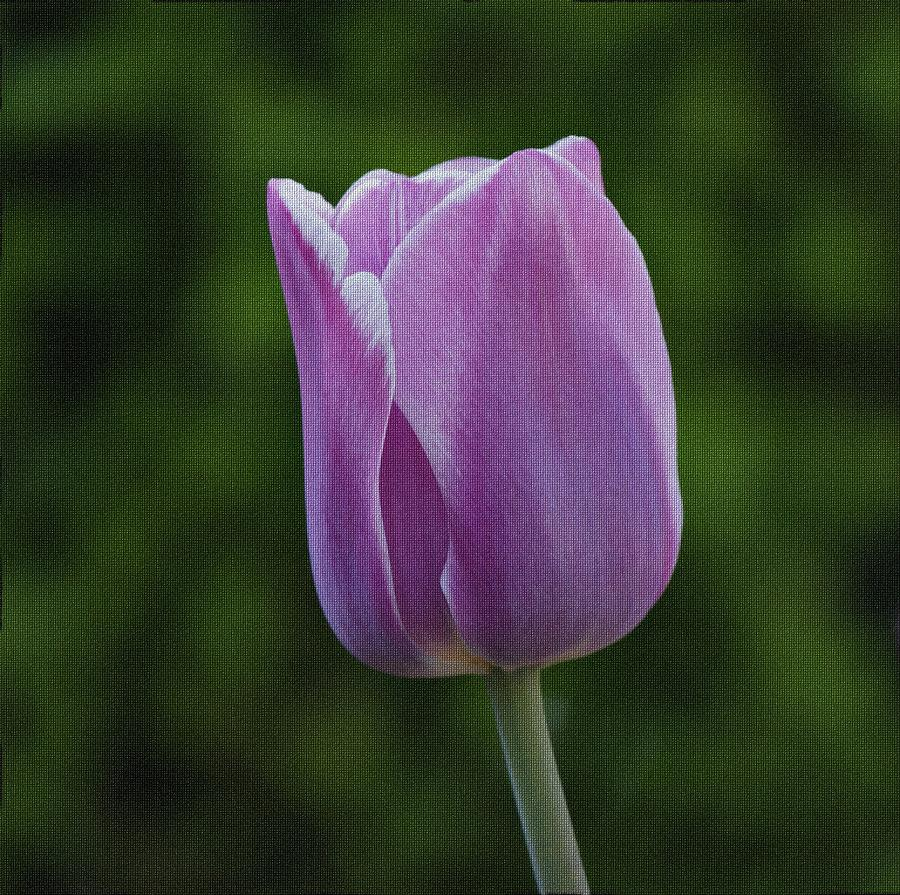 Purple Tulip Photograph  - Purple Tulip Fine Art Print