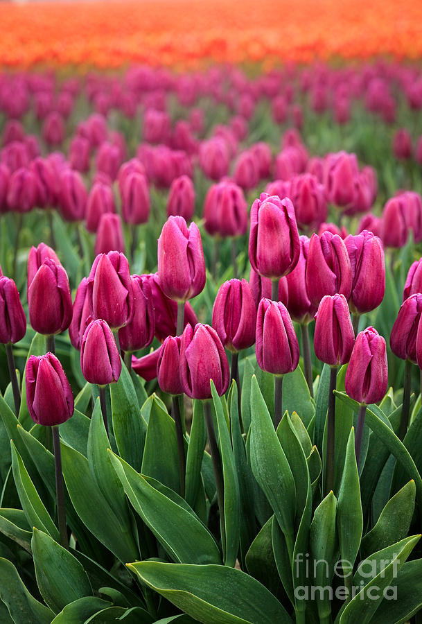 Mount Vernon Photograph - Purple Tulips by Inge Johnsson