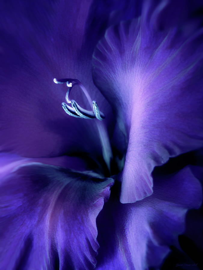 Purple Velvet Gladiolus Flower Photograph  - Purple Velvet Gladiolus Flower Fine Art Print