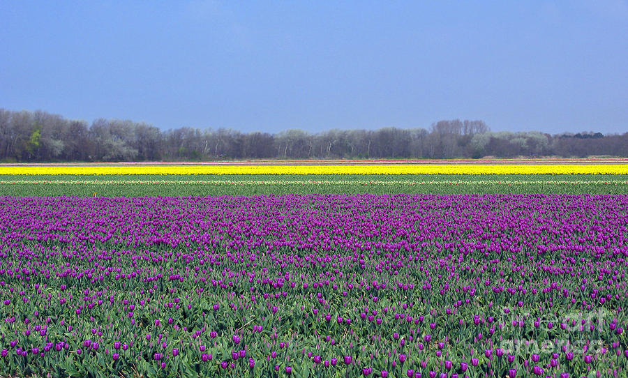 Purple With Golden Lining. Fields Of Tulips Series Photograph  - Purple With Golden Lining. Fields Of Tulips Series Fine Art Print
