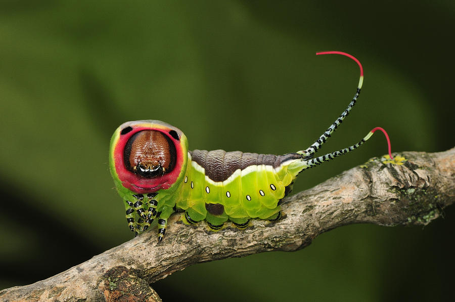 Puss Moth Caterpillar Switzerland Photograph By Thomas Marent