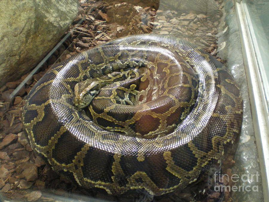 Python Photograph  - Python Fine Art Print