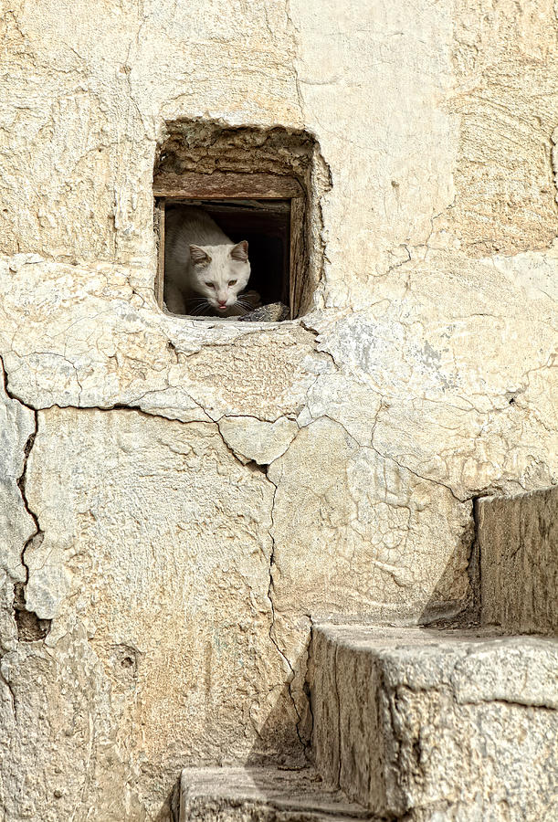 Qatari Alley Cat Photograph