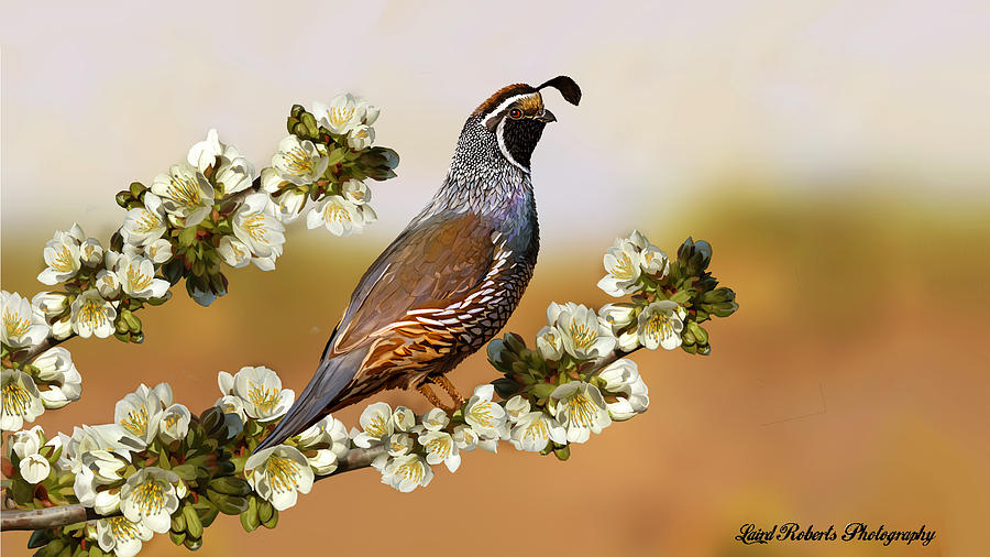 Quail In Cherry Tree Photograph  - Quail In Cherry Tree Fine Art Print