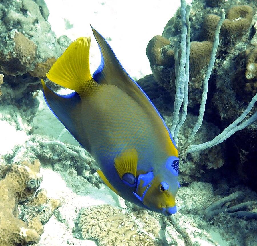 Queen Angelfish In Bonaire Photograph by Amy McDaniel