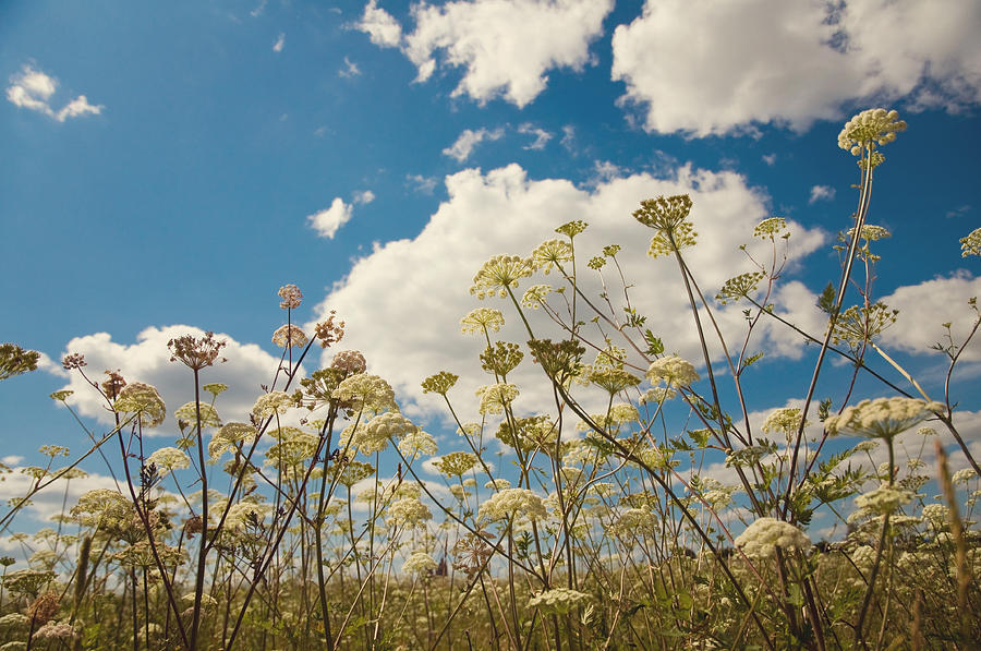 Queen Anne Lace And Sky Photograph