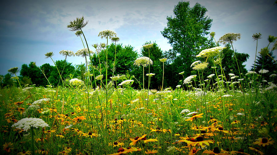 Queen Annes Lace Of The Butterfly Gardens Of Wisconsin Photograph