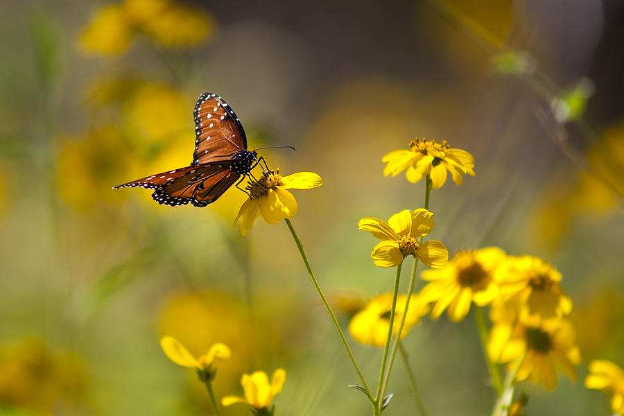 Queen Butterfly On Coreopsis  Photograph