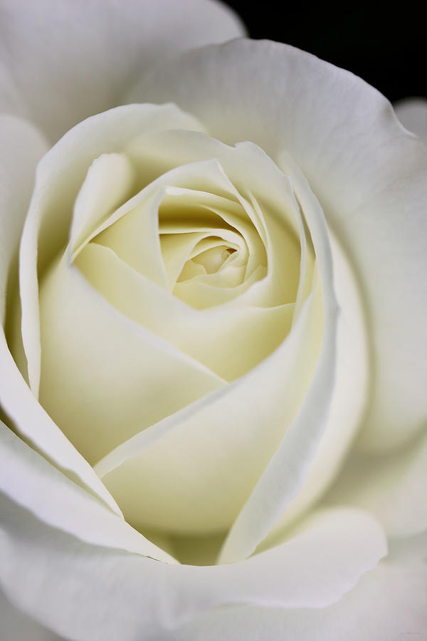 Queen Ivory Rose Flower 2 Photograph  - Queen Ivory Rose Flower 2 Fine Art Print