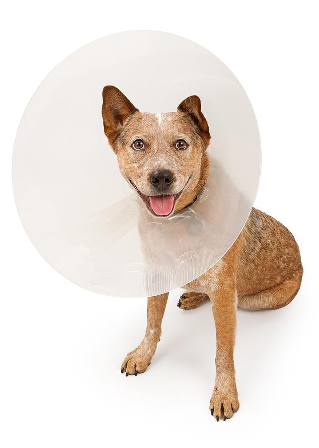 Queensland Heeler Dog Wearing A Cone Photograph