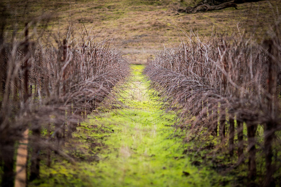 Quiet Vineyard Photograph  - Quiet Vineyard Fine Art Print