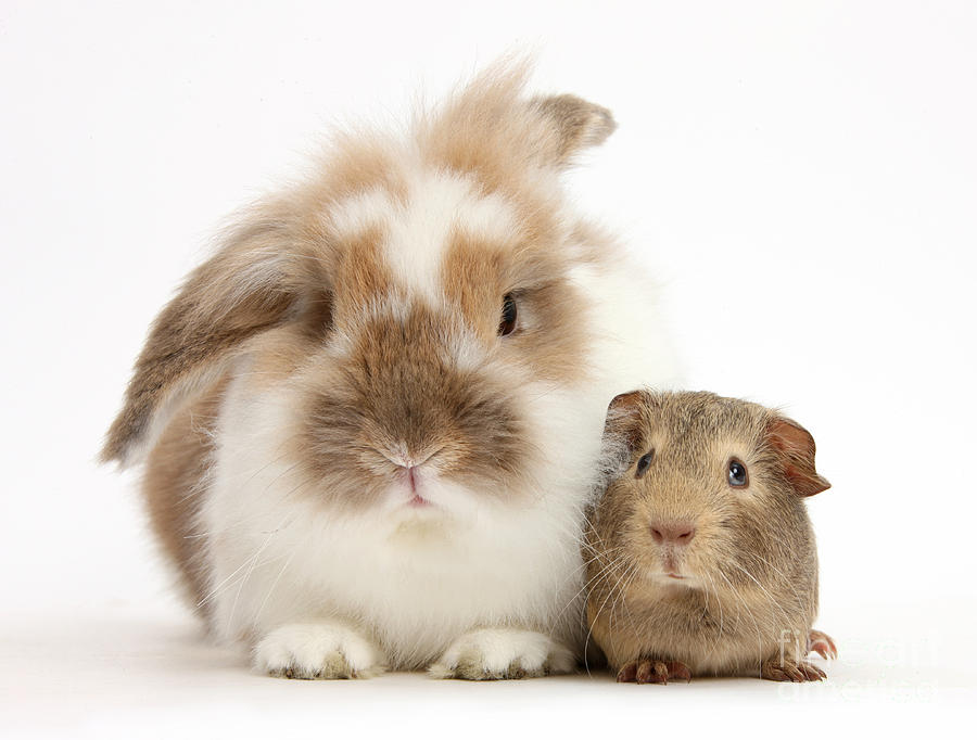 Rabbit And Baby Yellow-agouti Guinea Pig Photograph by ...